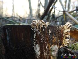 Seitling | Fruchtkörper an Baumstumpf, Foto: © Ingenieurbüro Pia Haun - Trier