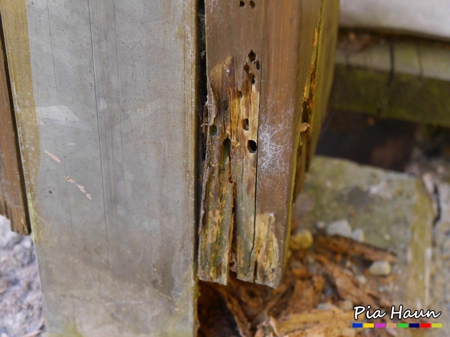 Rothalsbock | Schadensbild an BSH-Stütze, Foto: © Ingenieurbüro Pia Haun - Trier