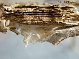 Weißfäule | zerstörtes Parkett | Foto: ©  P. Fischer