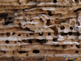 durch Holz bewohnende Ameisen verursachtes Schadensbild, Foto: © Ingenieurbüro Pia Haun - Trier