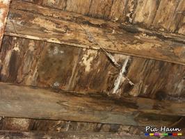 Ausgebreiteter Hausporling | Fruchtkörper an Holzbalkendecke, Foto: © Ingenieurbüro Pia Haun - Trier