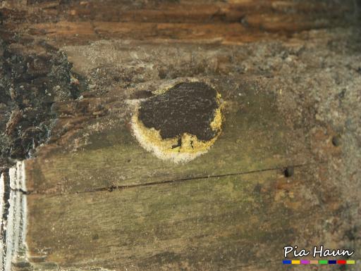 Gelbe Lohbllüte (Fuligo septica)   überreifer Fruchtkörper, Foto: © Ingenieurbüro Pia Haun - Trier