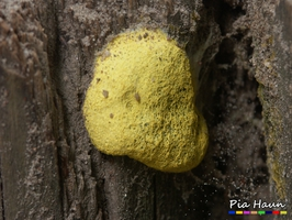 Gelbe Lohbllüte (Fuligo septica)   reifer Fruchtkörper an Sandkastenumrandung, Foto: © Ingenieurbüro Pia Haun - Trier