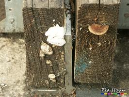 links: Fruchtkörper Weißer Porenschwamm/ Braunfäuletramete - rechts: Fruchtkörper eines Blättlings, Foto: © Ingenieurbüro Pia Haun - Trier