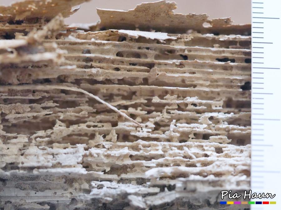 Rüsselkäfer   zerstörtes Nadelholz, Spätholzlamellen sind teilweise stehen geblieben, Foto: © Ingenieurbüro Pia Haun - Trier