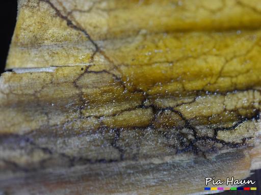 Schleimpilz Mycel, Foto: © Ingenieurbüro Pia Haun - Trier
