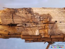 Holz mit Doppelbefall | Blid links: Braunfäule | rechts Weißfäule | Foto: © Ingenieurbüro Pia Haun - Trier