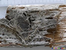 Echter Hausschwamm | Oberflächenmycel an Fußleiste, Foto: © Ingenieurbüro Pia Haun - Trier