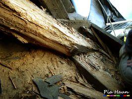 Hausbock   massiver Befall in einem Kirchendach, Foto: © Ingenieurbüro Pia Haun - Trier