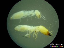 Termiten    oben: Arbeiter, unten: Soldat, unter dem Auflichtmikroskop, Foto: © Ingenieurbüro Pia Haun - Trier