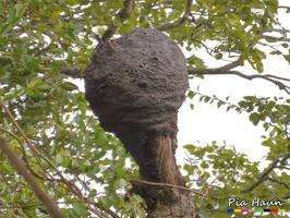 Termitennest in Baumkrone   Madagaskar, Foto: © Ingenieurbüro Pia Haun - Trier