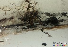 Tintlinge | Befall im Treppenhaus meines ehemaligen Büros, zerfließender Fruchtkörper, Foto: © Ingenieurbüro Pia Haun - Trier